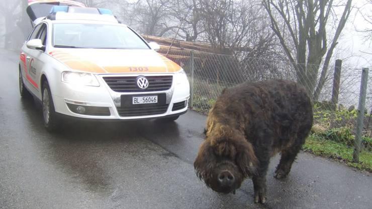Eine Anzeige wegen Behinderung einer Amtshandlung riskiert hat dieses Wollschwein im Februar 2011 in Brislach: Es liess gemäss Polizeimitteilung ein Polizeifahrzeug nicht passieren.