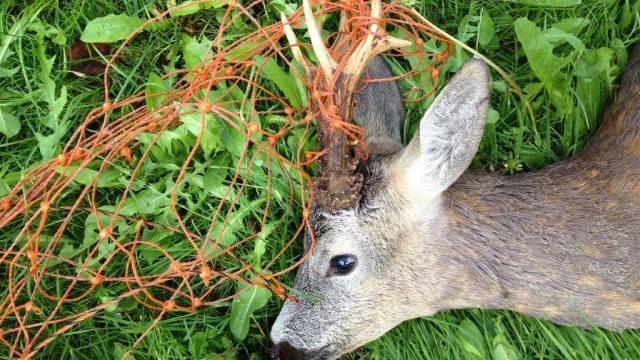 Dieser Rehbock hat sich in einem Zaun verheddert und ist elendiglich gestorben.