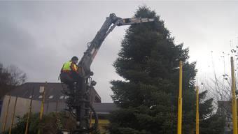 Hier hängen zwei Tonnen in der Luft: in Muhen wird der Weihnachtsbaum aufgestellt.