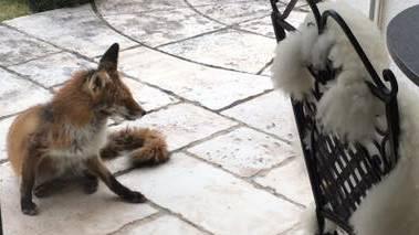 Der Fuchs traut sich bis auf den Sitzplatz von Josef Haus in Bad Zurzach.