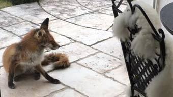 Ein Fuchs zu Besuch in Bad Zurzach