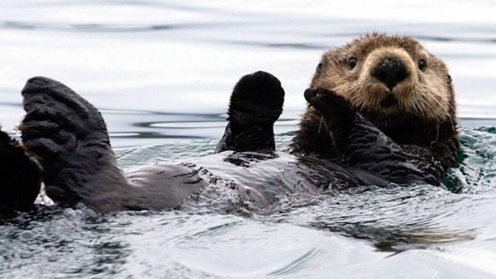Forscher lüften Geheimnis um Körperwärme von Seeottern