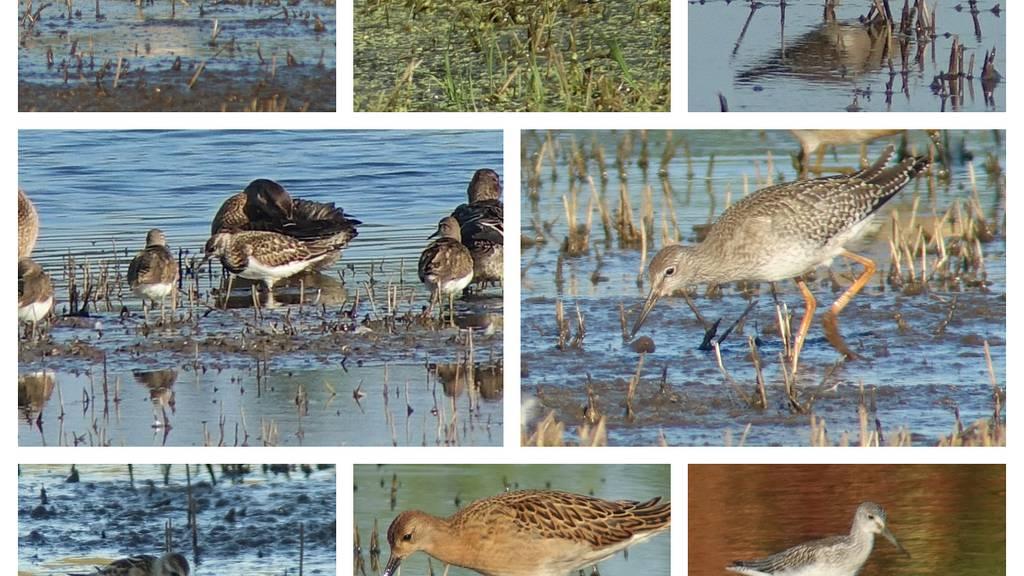 Hochwasser bringt seltene Vögel an den Sempachersee