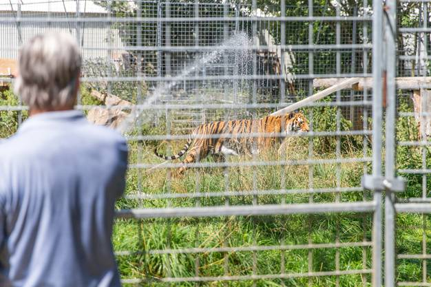 Wasser für die Raubkatzen: In dieser Hitze brauchen die Tiere eine Abkühlung.