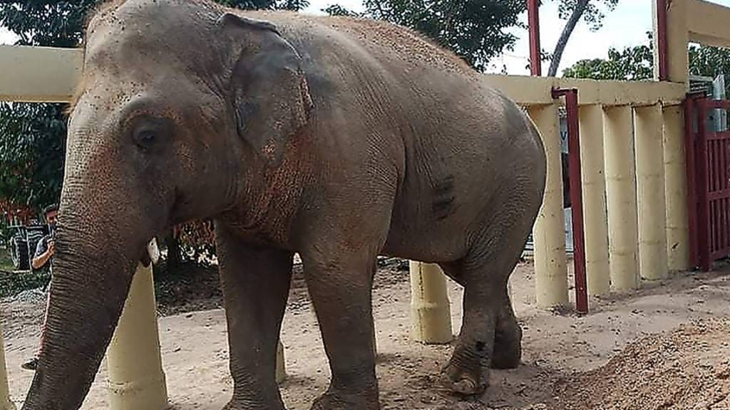 Kaavan entdeckt die Bäume: So geht es dem Elefanten in Kambodscha