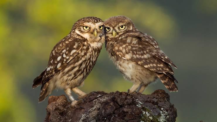 So sehen Sieger aus: Zwei Steinkäuze. Sie sind von BirdLife Schweiz zum Vogel des Jahres 2021 erkoren worden.