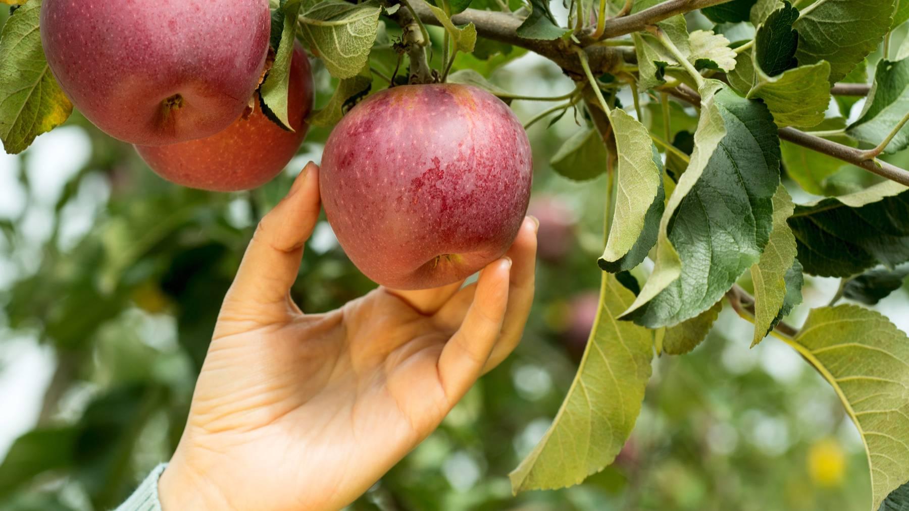 Es gibt immer wieder Spaziergänger oder Wanderer, die sich an Apfelbäumen am Wegrand bedienen (Symbolbild).