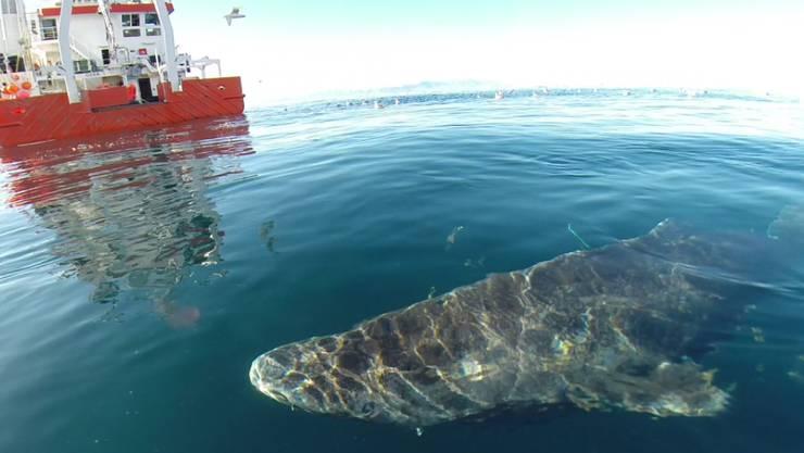 Methusalem unter den Wirbeltieren: Der Grönlandhai wächst extrem langsam und stand schon lange im Verdacht, uralt zu werden.