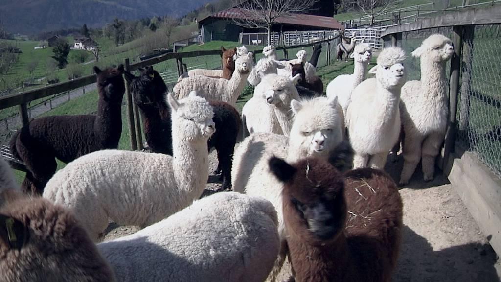 Alpakas können Schafe vor Wölfen schützen