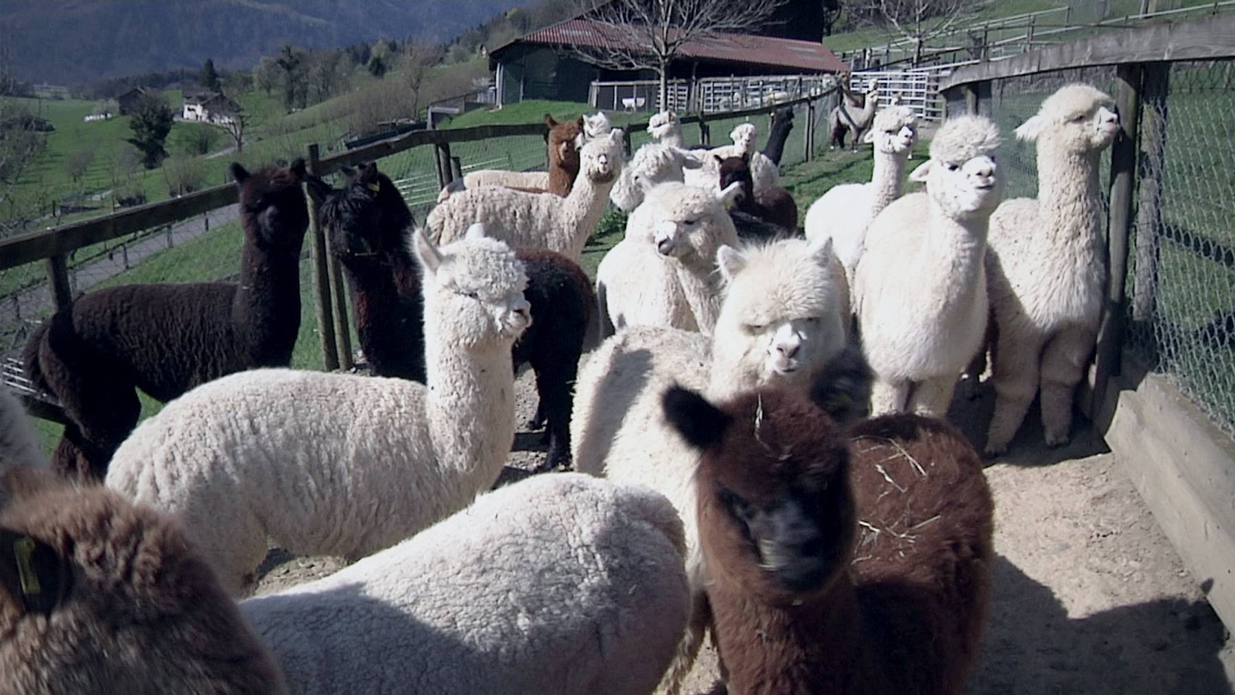 Die Familie Stocker züchtet seit 20 Jahren Alpakas.