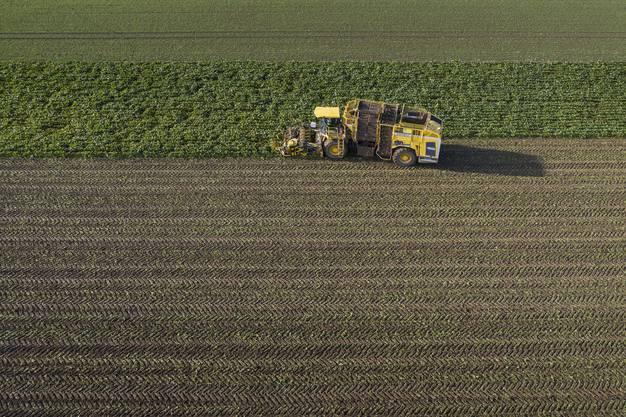 Einmal im Jahr haben die Zuckerrüben ihren grossen Auftritt. Die grosse Ernte in Wildegg.