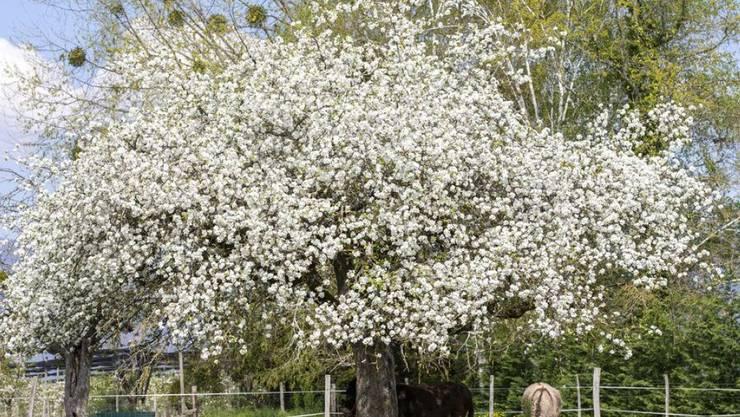 Esel unter blühendem Obstbaum. Am 25. April ist Welttag des Baums. (KEYSTONE/Salvatore Di Nolfi)