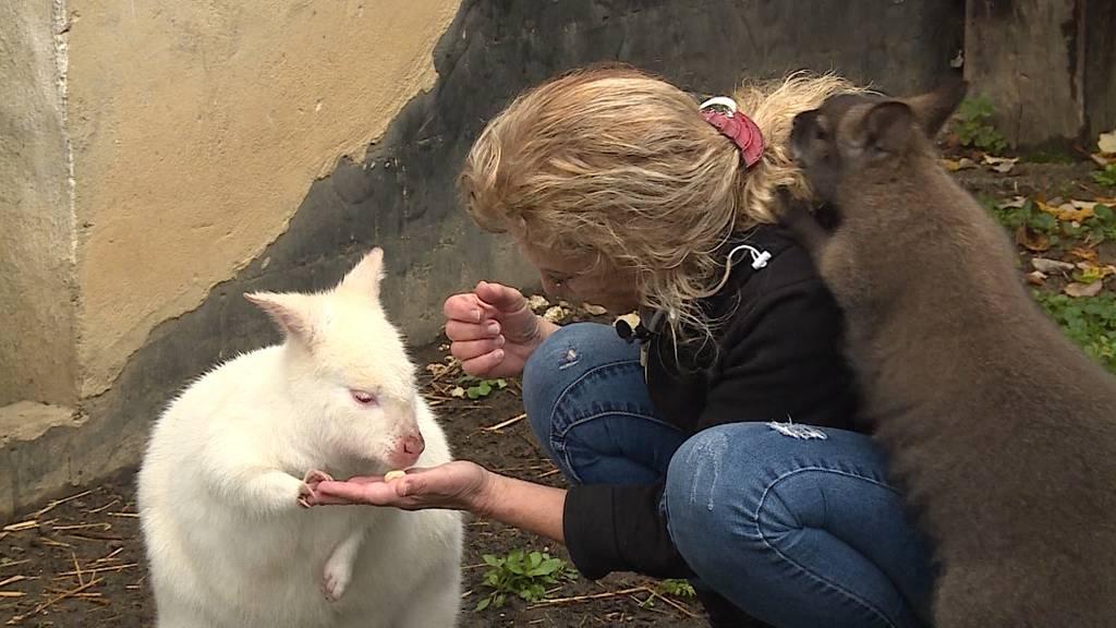 Verrückte Haustiere: Ersatz-Mami für 13 Kängurus