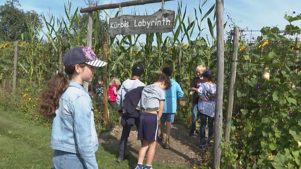 Das Kürbislabyrinth in Lüterkofen führt die Besucher auch diesen Herbst wieder in eine Sackgasse