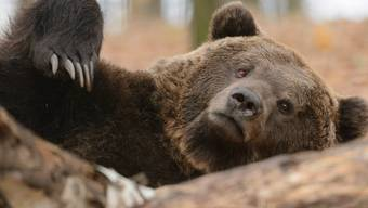 Der Bär ist dem Wolf jagdtechnisch überlegen.