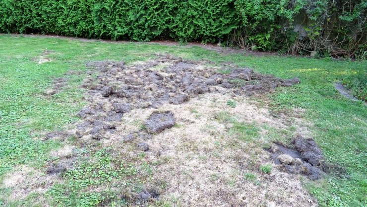 Ein Wildschwein hat in Biberist einen Garten umgepflügt.