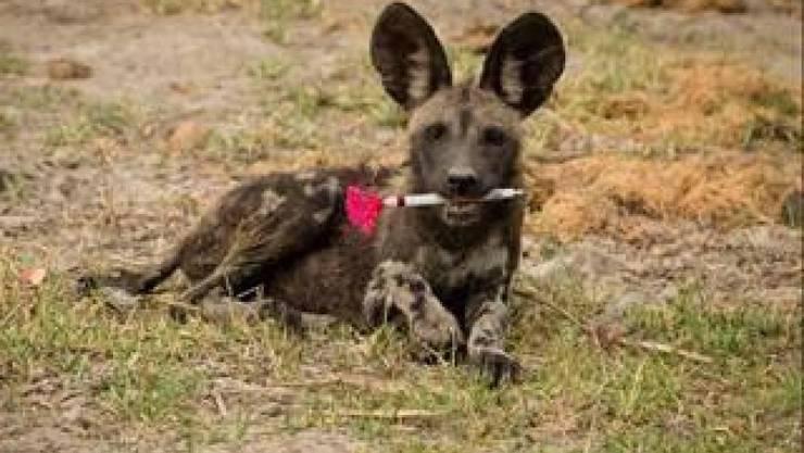 """Sieger in der Kategorie """"Ökologie in Aktion"""": Junger Wildhund mit Betäubungsspritze von Dominik Behr, Universität Zürich."""