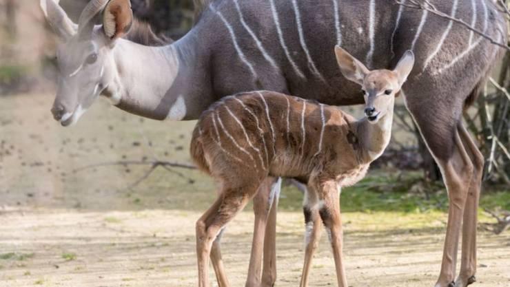 """Das Kleine Kudu """"Pepo"""" knabbert im Zoo Basel unter Aufsicht von Mutter """"Jina"""" bereits Blätter."""