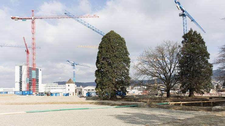 Die 100-jährigen Bäume werden aus dem Schutzregister entlassen.