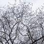 Der - blühende - Referenzkirschbaum ist unscheinbar.