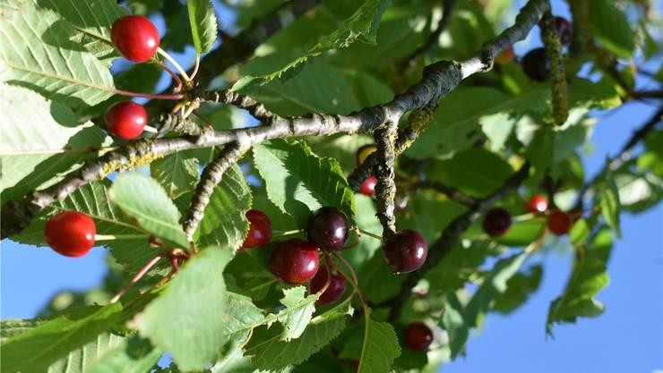 Die Kirschen an den Fricktaler Bäumen sind bald erntereif. nbo