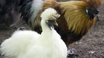 Das Zürcher Baurekursgericht hat für einige Seidenhühner und einen Hahn neue Stallzeiten erlassen. Sie müssen nun am Morgen mindestens eine Stunde länger in den Federn bleiben. (Archivbild)