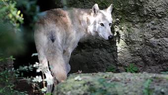 Wolf im Zoo Basel (Archiv)