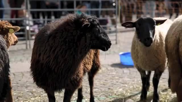 Mit Greis und Schafen gegen Durchsetzungsinitiative