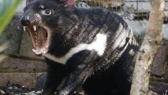 Der Tasmanische Teufel Tex im Taronga Zoo. Neuerdings leben seine Artgenossen nach ihrer Ausrottung wieder wild auf dem australischen Festland. Teuflisch - das heisst aggressiv - sind die Beutelteufel nicht, sie wehren sich nur - das allerdings heftig. (Archivbild)