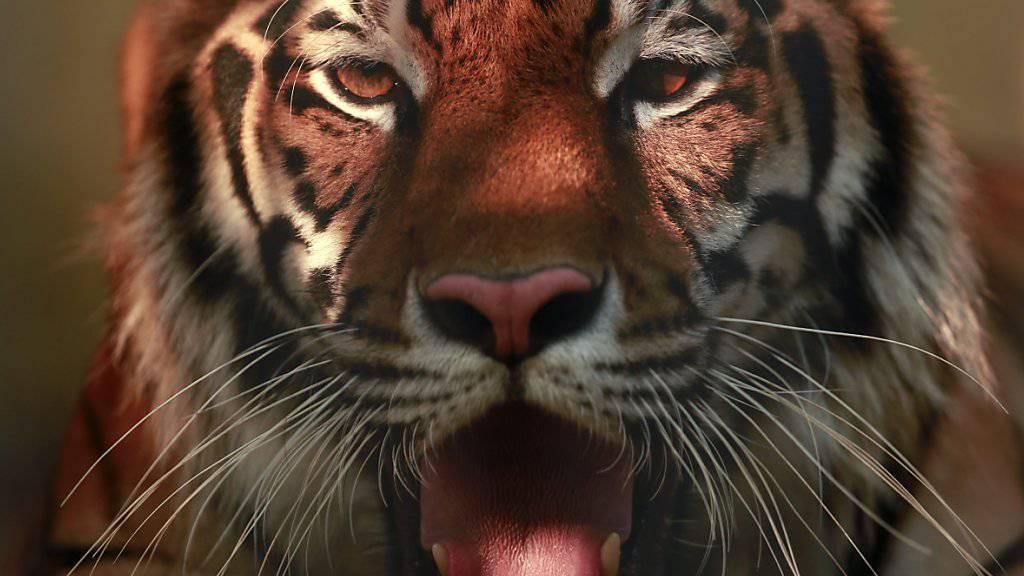 Mehrere Tiger haben in einem chinesischen Safaripark eine Frau getötet. (Symbolbild)