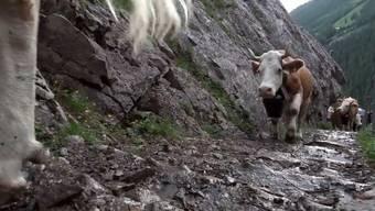Rund 500 Kühe und Rinder werden auf die Engstligenalp gezügelt. Schritt für Schritt nehmen sie den steilen und felsigen Aufstieg zur Sommerweide in Angriff.