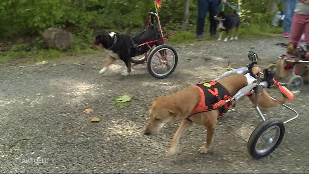 Hunde im Rollstuhl rennen gegen ihr Herrchen