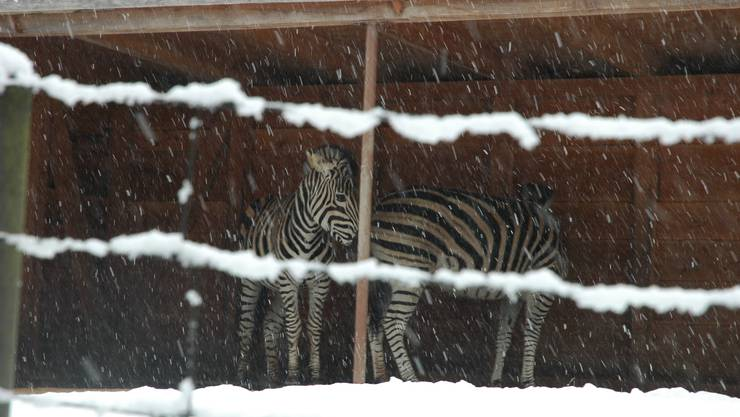 Zebras flüchten vor dem Schneefall ins Trockene.