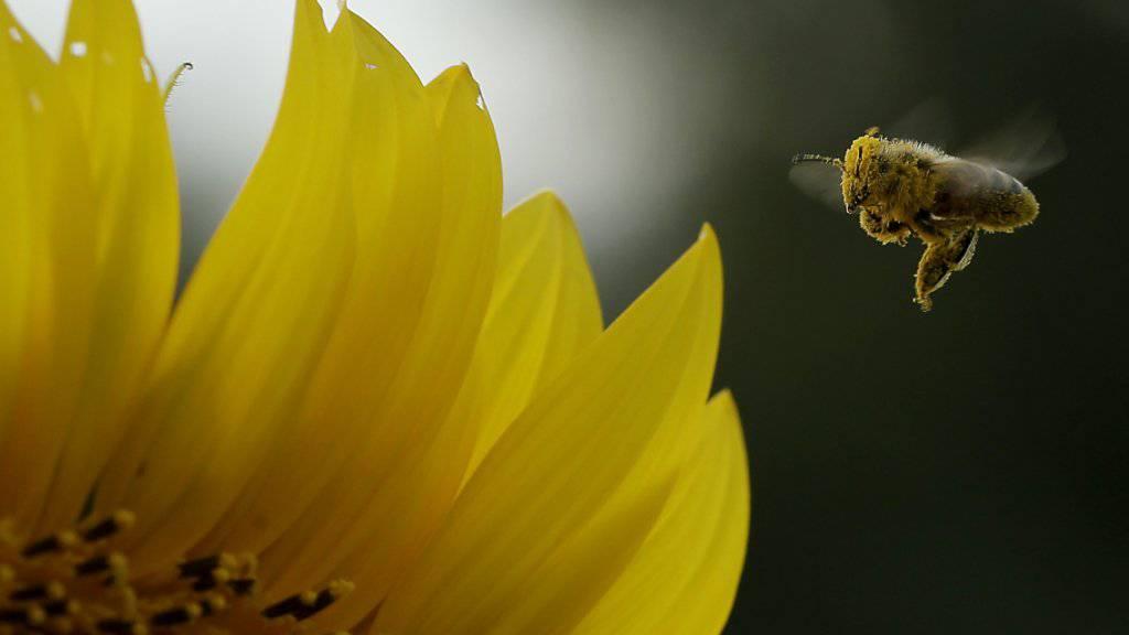 Pflanzenschutzmittel können für Bienen (Symbolbild) tödlich sein. Ein Fall in Liechtenstein beweist das erneut.