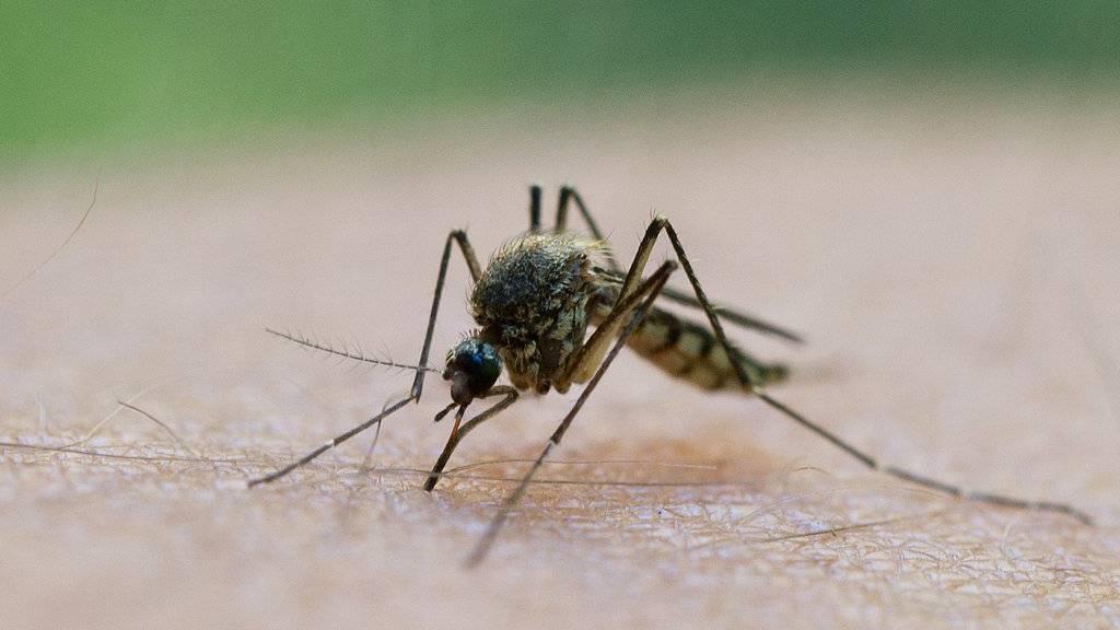 Dieses Jahr gibt es weniger Stechmücken. (Archiv)