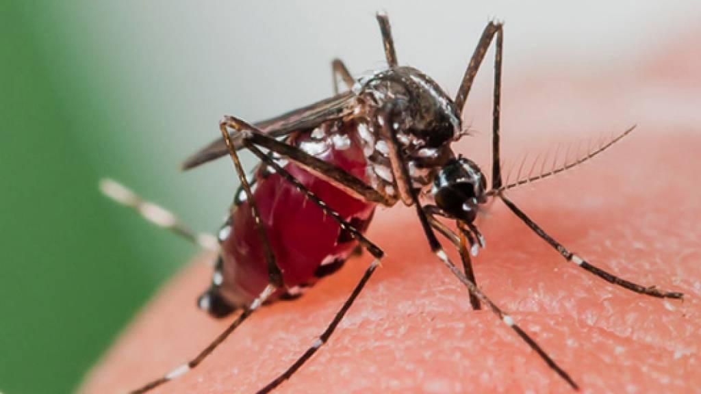 Asiatische Tigermücke erstmals im Wallis nachgewiesen