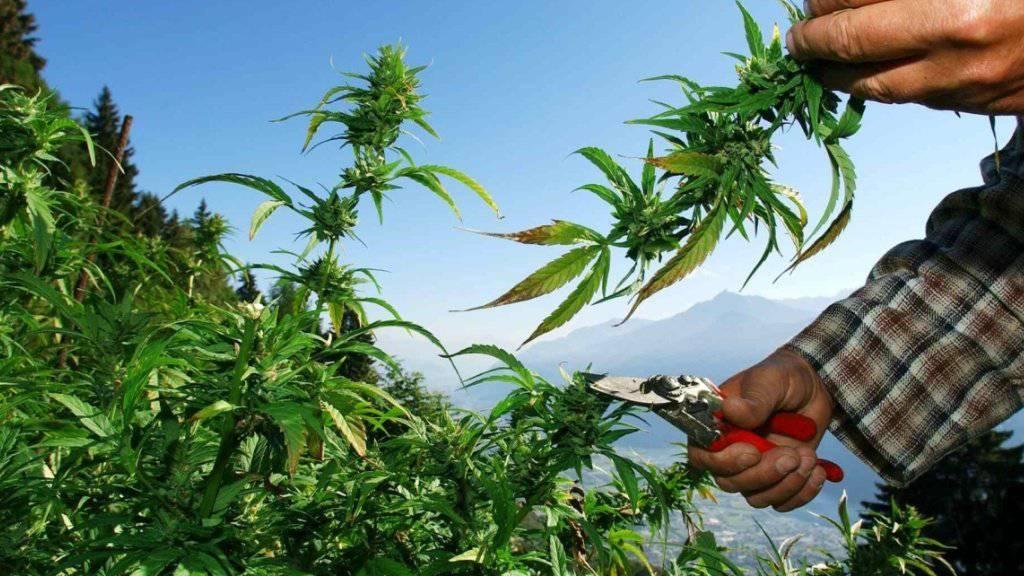 Hanf mit einem THC-Gehalt von 1,0 Prozent und mehr gilt seit 2011 als Droge. Das Kantonsgericht St. Gallen hat am Montag einen Toggenburger Hanfbauern wegen Widerhandlung gegen das Betäubungsmittelgesetz verurteilt. (Archivbild)