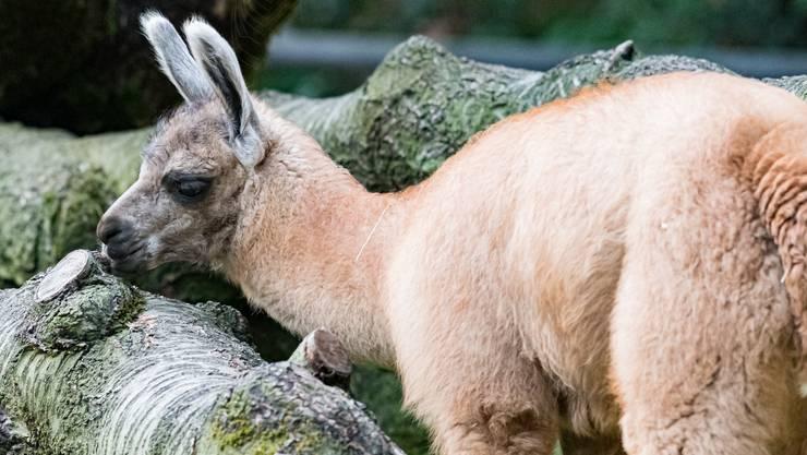 Am 18. August kam im Zolli ein Lama auf die Welt.