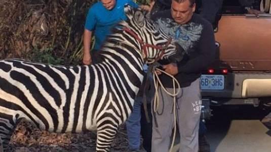 Polizei nimmt die Zebras «in Haft».