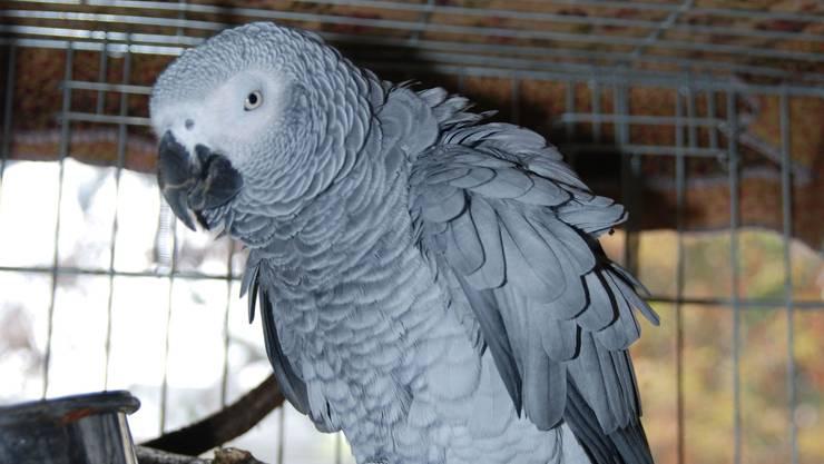 Zutraulich und aufgestellt: Der grau gefiederte Findelpapagei wird zurzeit im Kaister Tierlignadenhof betreut. (sh)
