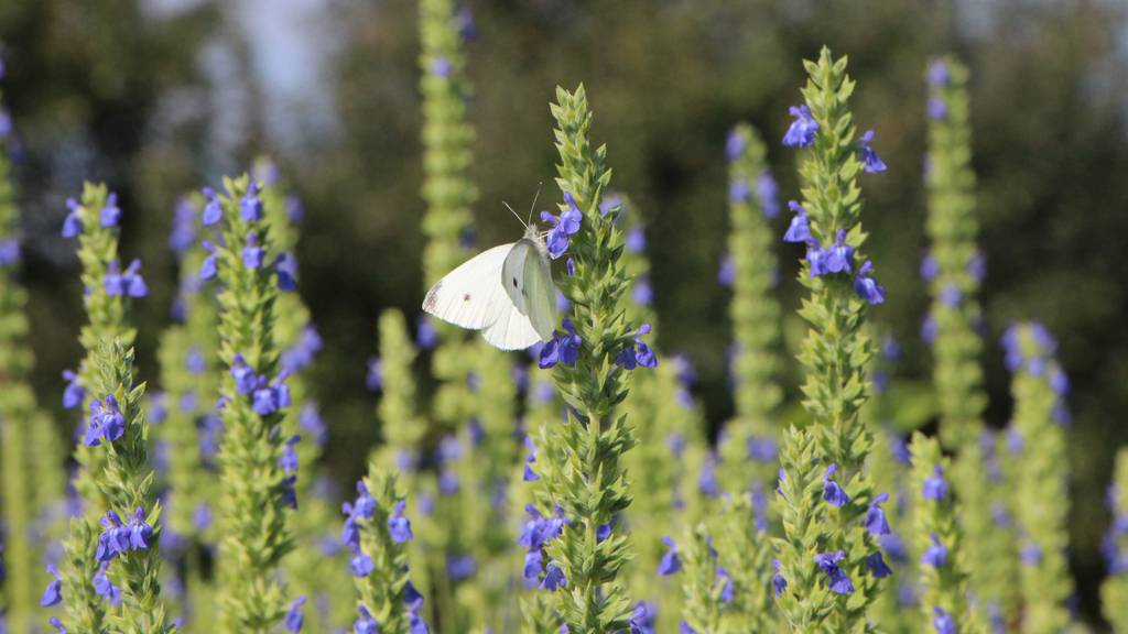 Chia-Pflanzen als Insektenparadies