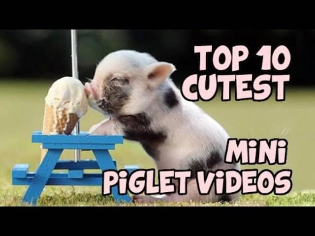 Weils soooo herzig ist: Die lustigsten Minipig-Videos