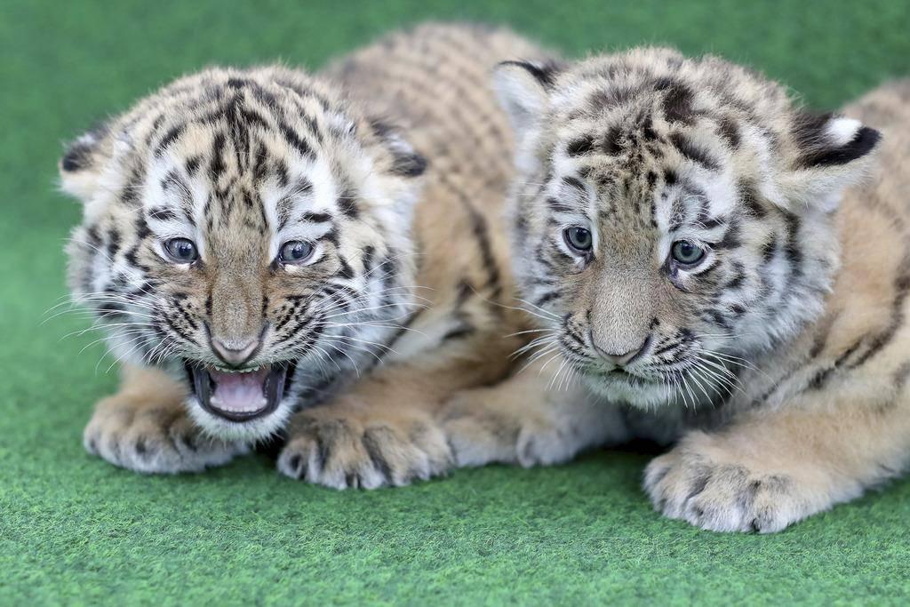 Tiger-Babys aus Leipzig (© KEYSTONE/EPA/AP)