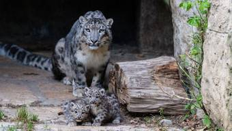 Schneeleoparden-Mutter Mayhan zeigte sich am Mittwoch im Zoo Basel erstmals mit zwei ihren Babies auf der Aussenlage.