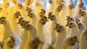 Legehennen in Bodenhaltung im Hühnerstall eines Bauernhofs im Zürcher Oberland.