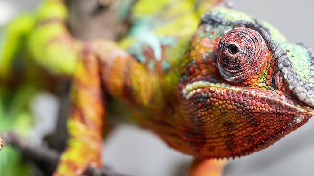 Mal grün, mal türkis, aber immer wachsam: Panther-Chamäleon «Rocco». Er ist in der Zürcher Chamäleon-Population für den Nachwuchs zuständig.