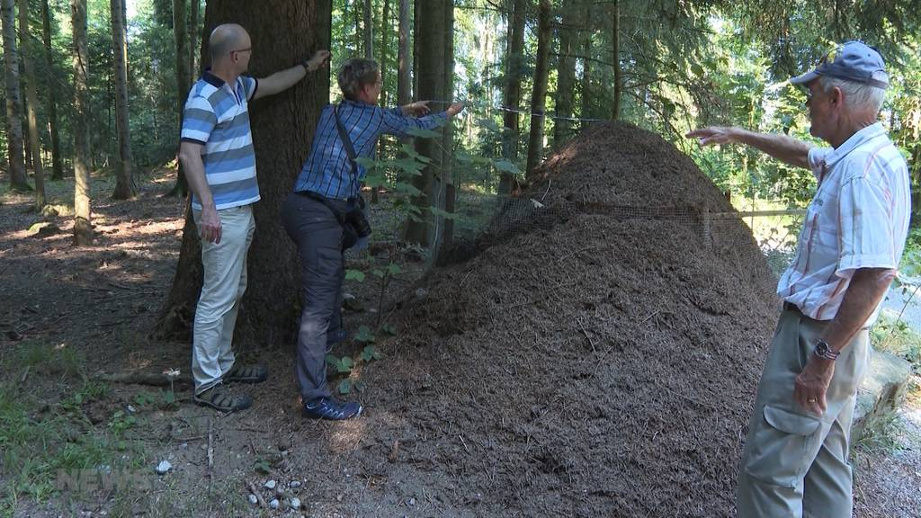 Gigantischer Ameisenhaufen im Berner Oberland entdeckt