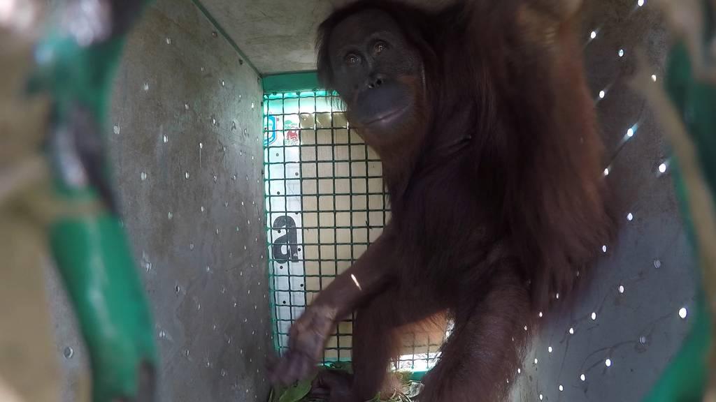 Per Heli in den Dschungel: Erste Orang-Utan-Auswilderung seit Corona