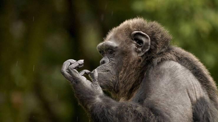 Schimpansen haben eine ausgefeiltere Kultur als jeder andere nichtmenschliche Primat. (Archivbild)