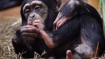 Hauptsache spielen: ein junger Schimpanse in einem Zoo (Archiv)